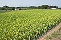 Tobacco field in Namegata, Ibaraki 01.jpg