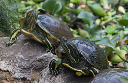 Trachemys decorata.jpg