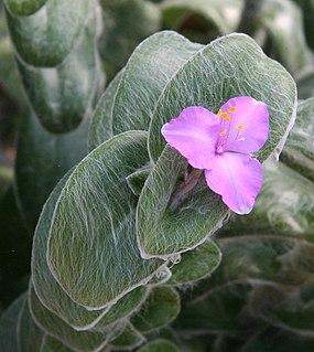 <i>Tradescantia sillamontana</i> species of plant