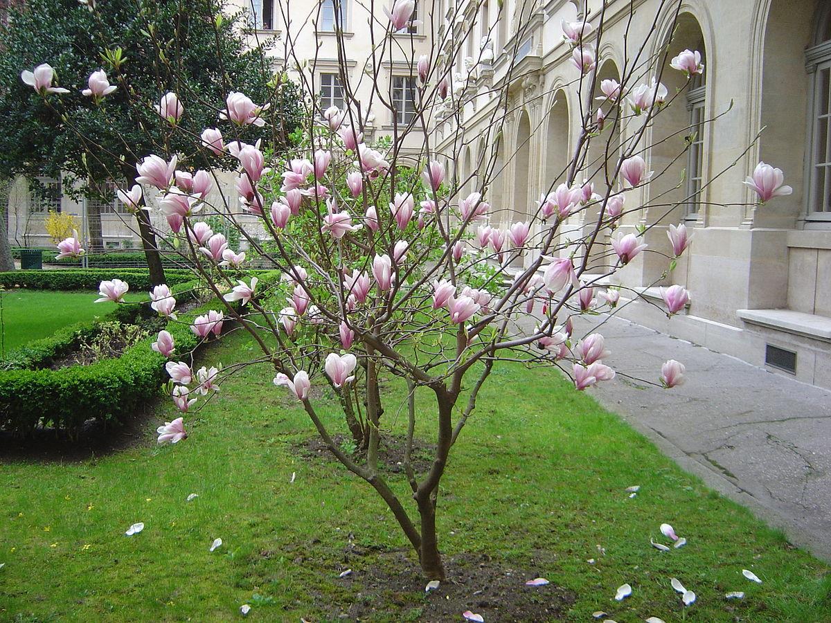 Magnolia Wiktionary