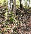 Tree roots in Romania.jpg