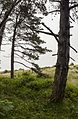 Trees at the north-east end of the Sefton coast woodlands - Formby - panoramio.jpg