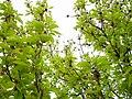 Trees in iran-qom city -پوشش گیاهی و درختان استان قم 05.jpg