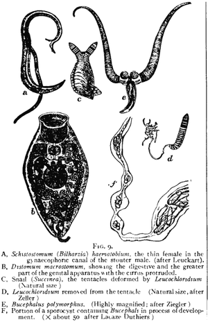 Trematoda - Varied trematodes, from 1911 Encyclopædia Britannica