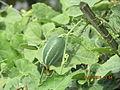 Trichosanthes dioica.JPG