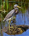 Tricolored Heron at Lake Woodruff - Flickr - Andrea Westmoreland.jpg