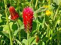 Trifolium incarnatum 001.jpg