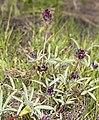 Trifolium longipes subsp. atrorubens (longstalk clover) (7178307295).jpg