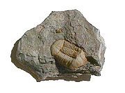 Fossil trilobite Ductina vietnamica from the Devonian of China