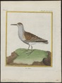 Tringa cinclus - 1700-1880 - Print - Iconographia Zoologica - Special Collections University of Amsterdam - UBA01 IZ17400243.tif