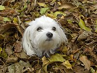 A Maltese lying in the fall leaves.