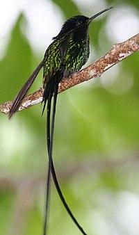 Trochilus scitulus
