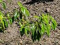 Trochodendron aralioides in Christchurch Botanic Gardens.jpg