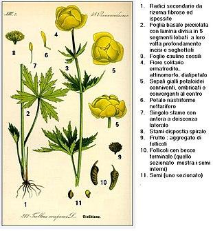 Fiori Gialli Botton Doro.Trollius Europaeus Wikipedia