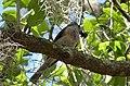 Tufted Titmouse. Baeolophus bicolor (24520670448).jpg