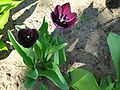 Tulipa gesneriana 8.jpg