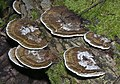 Turkeytail, Trametes versicolor (21084526734).jpg