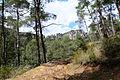 Turkish pine trees, Canyon Kapıkaya 07.jpg