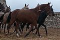 Turkmen Studfarm - Flickr - Kerri-Jo (17).jpg