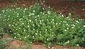 Turnera ulmifolia 'Elegans' in Hyderabad, AP W IMG 0221.jpg