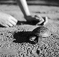 Turtle Fortepan 10550.jpg
