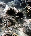 Two Urchins (23970836101).jpg