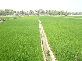 Paddy field - Two paddy fields in Khulna, Bangladesh