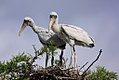 Two wood stork chicks (14197749340).jpg