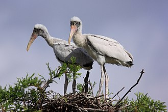 Wood stork - Two wood stork chicks at their nest