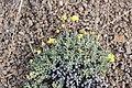 USFWS Cusion desert buckwheat (18528501474).jpg