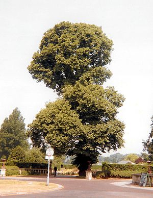 Ulmus minor 'Atinia' - English Elm, Brighton, 1992