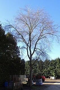 <i>Ulmus</i> Homestead Elm cultivar