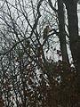 Un gavilan 2014-02-21 21-15.jpg
