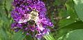 Unbestimmte Biene2.jpg