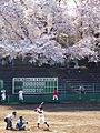 Under the cherry tree 2015 (17007504032).jpg