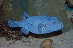Unidentified Blue and White Dot Pufferfish 3008px.jpg