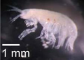 Unidentified amphipod - journal.pone.0053590.g003-i.png