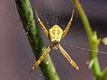 Unidentified spider, balcony, Yogyakarta 2015-02-11 01.jpg