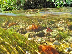 Des mulettes épaisses, dans une rivière, en Allemagne