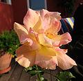 Unknown rose 2.jpg