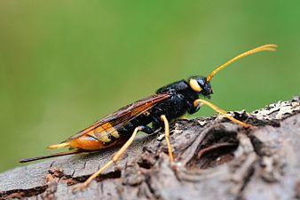 Urocerus gigas female (31992206422).jpg
