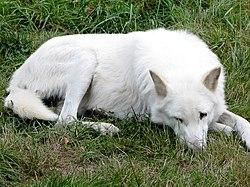 Canis lupus crassodon