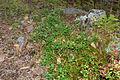 Vaccinium vitis-idaea (8016804897).jpg