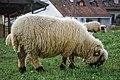 Valais Blacknose Sheep in Summer.jpg