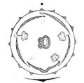 Valeriana flowerdiagram.png