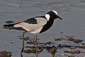 Vanellus armatus -Lake Nakuru, Kenya-8.jpg
