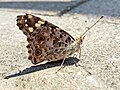 Vanessa cardui (Nymphalidae) - (imago), Nijmegen, the Netherlands.jpg