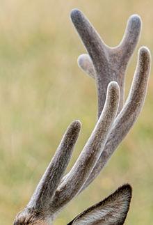 Deer Antler Spray Build Muscle