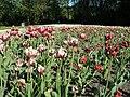 Verblühende Tulpen (4).jpg