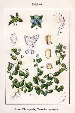 Veronica agrestis Sturm48.jpg